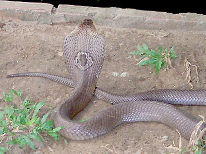 タイコブラの背中側の模様