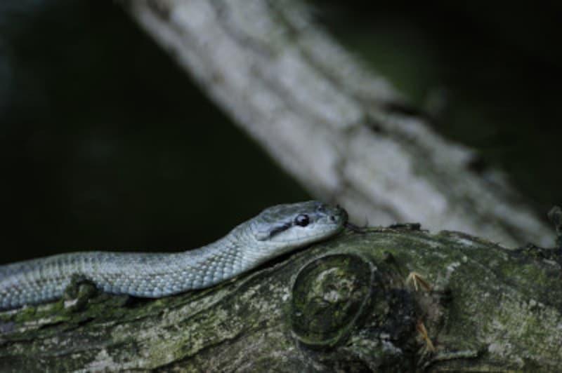アオダイショウ・シマヘビの飼い方とは