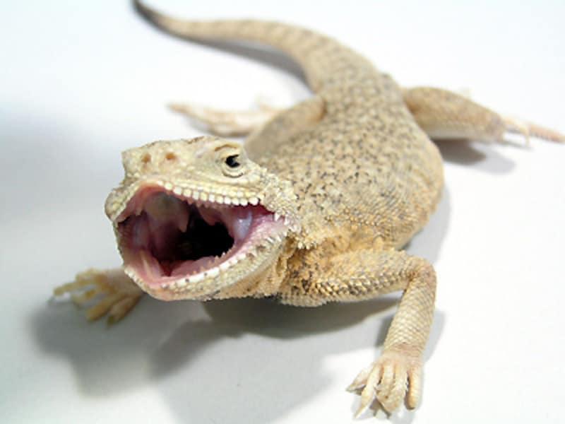 オオクチガマトカゲ!爬虫類・トカゲの基本的な知識と飼育方法
