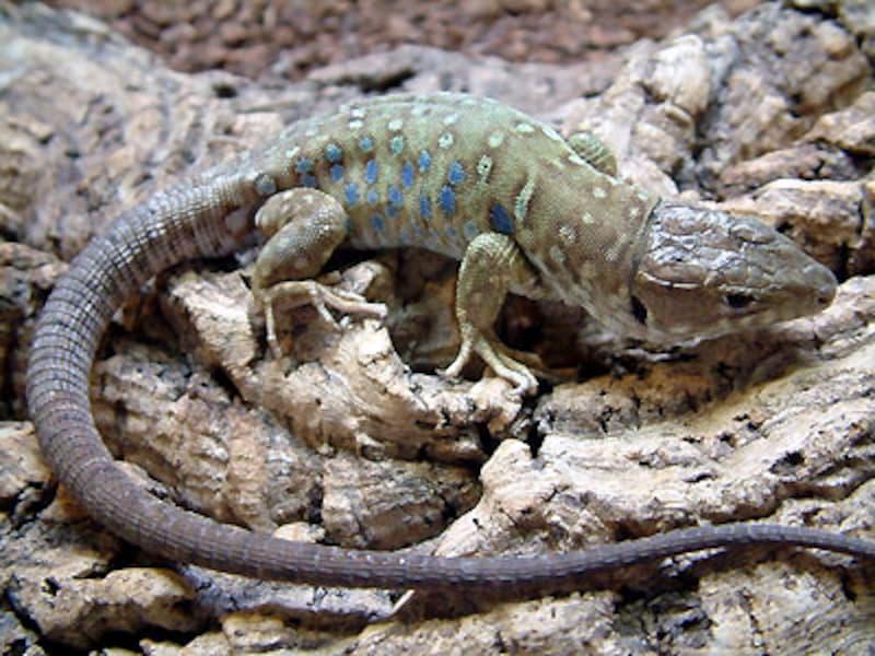 ネバダホウセキカナヘビ