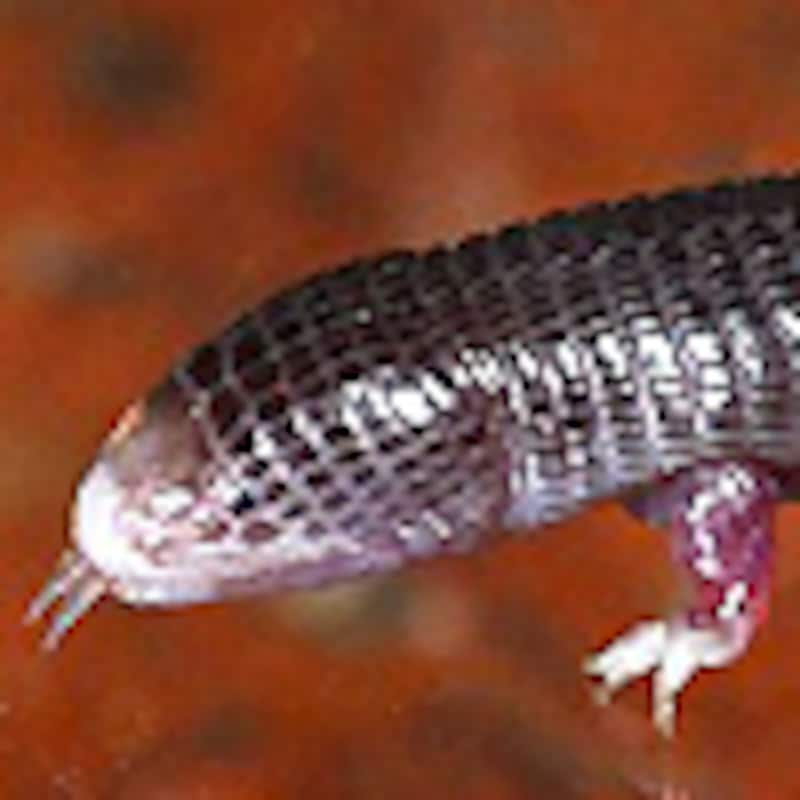 ミツユビアホロテトカゲ
