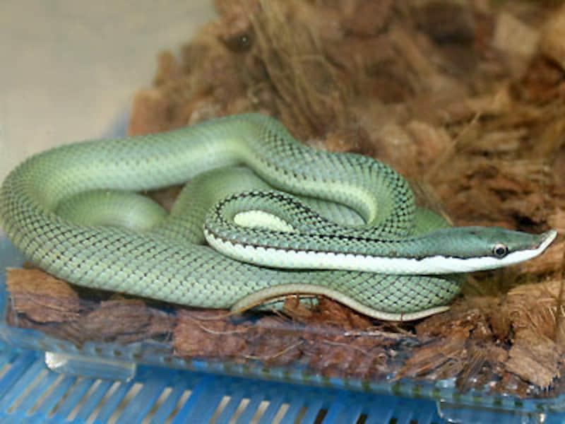 バロンコダマヘビの基本情報・飼育方法