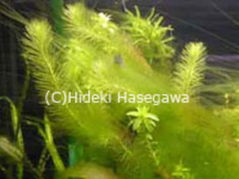 糸状藻(しじょうそう)
