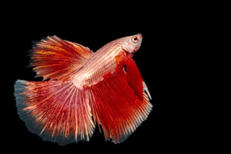 闘魚(ベタ)の特徴