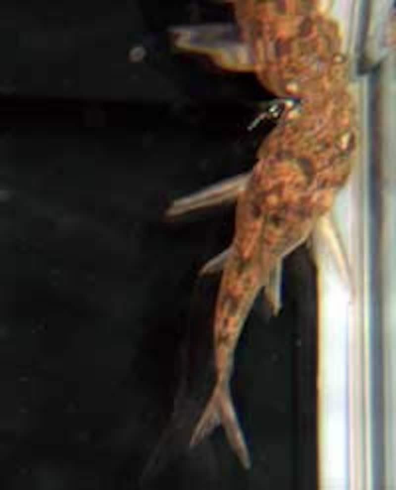 黒コリ Corydoras paleatus