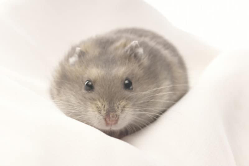 ハムスターなど、小動物のノミ対策