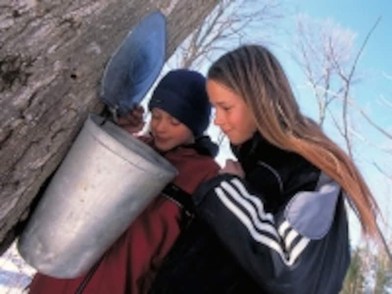 バケツを木に取り付ける伝統的な採取方法undefined写真提供:TourismOntario