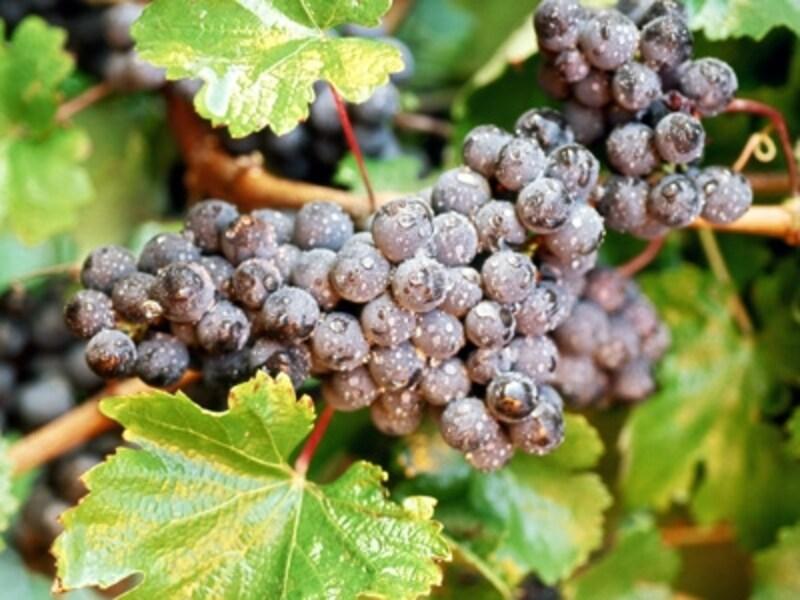 カナダは知名度が高くなりつつあるワインの産地undefined写真提供:TourismOntario