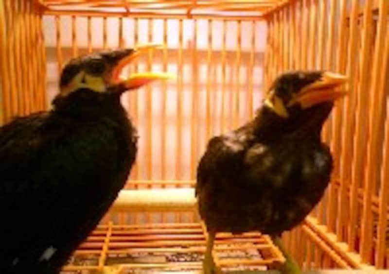 九官鳥の雛