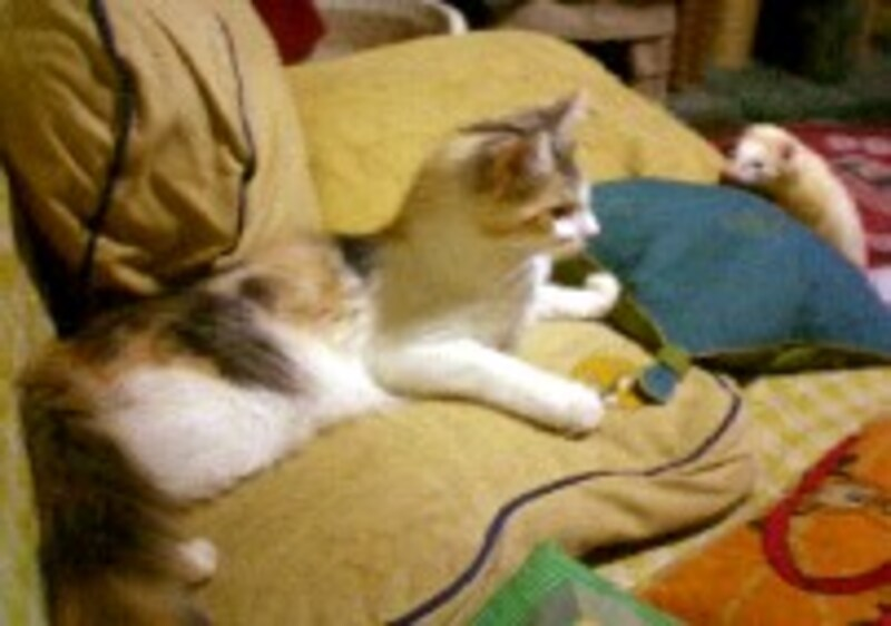 遊んでる猫とフェレ