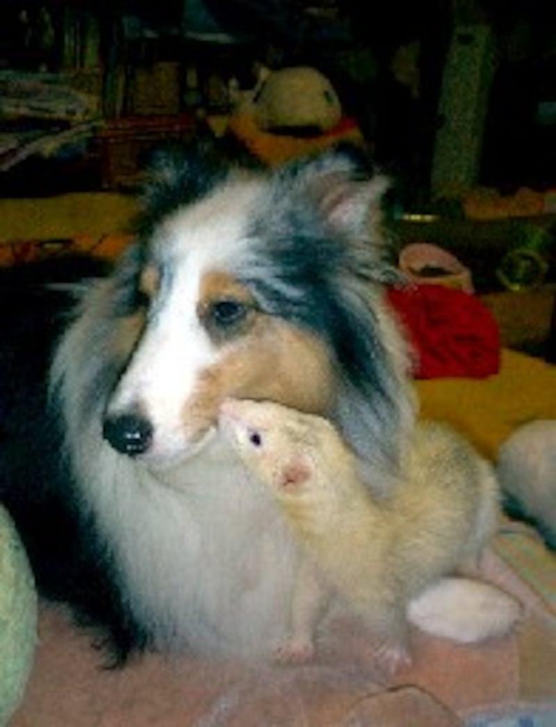 フェレットと犬