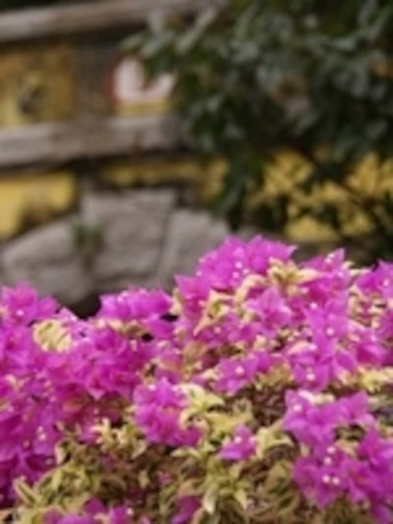 温暖な気候のマカオではほぼ年間を通じて色鮮やかな花々が楽しめる