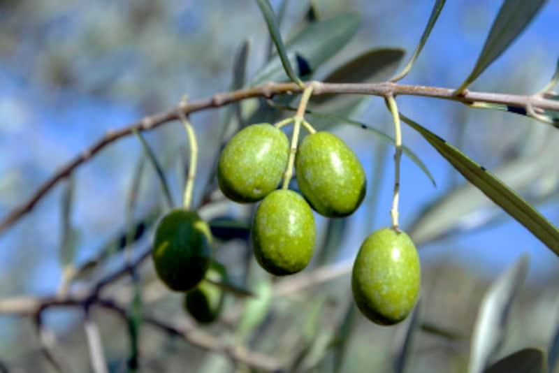 日本でもできる!オリーブの木の栽培方法や育て方