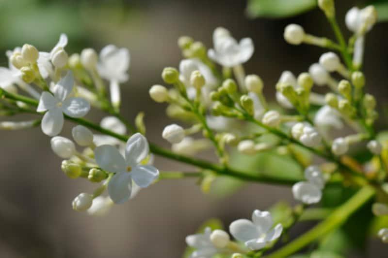 ライラックのように枝の先に花が咲くタイプは剪定時期に注意!