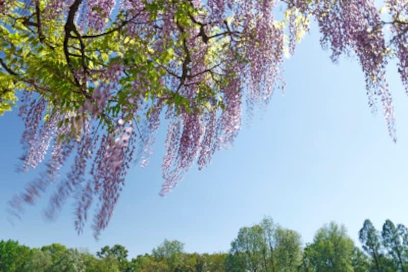 フジは枝の側芽に花をつける