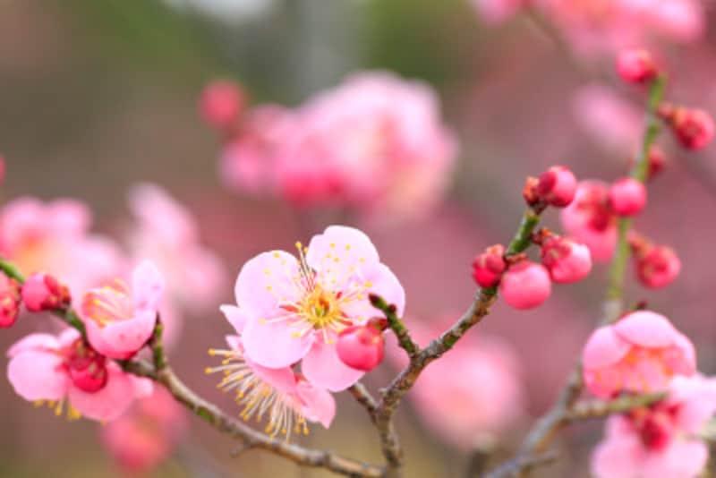 ウメは花後に剪定する他、徒長枝を適宜切り戻す