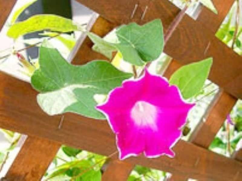愛らしい桔梗咲きのアサガオ