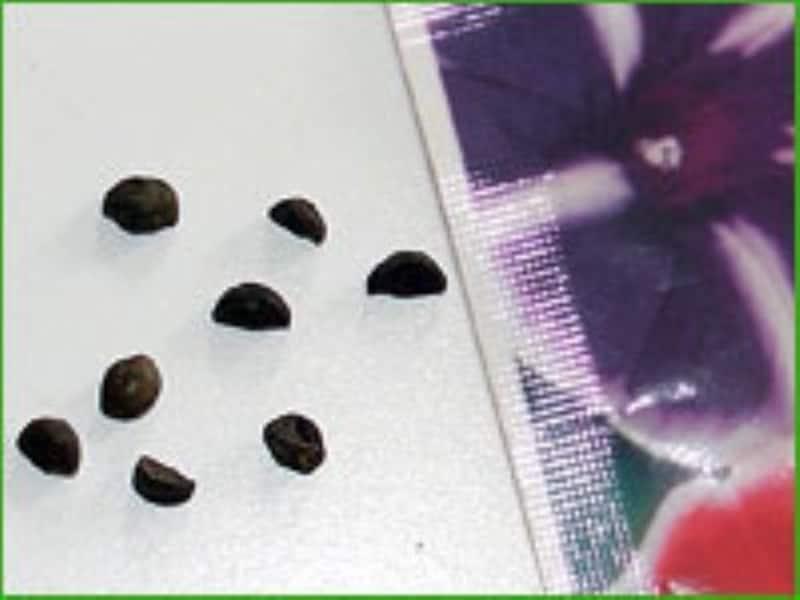 アサガオの種は丸い方を上にして蒔く