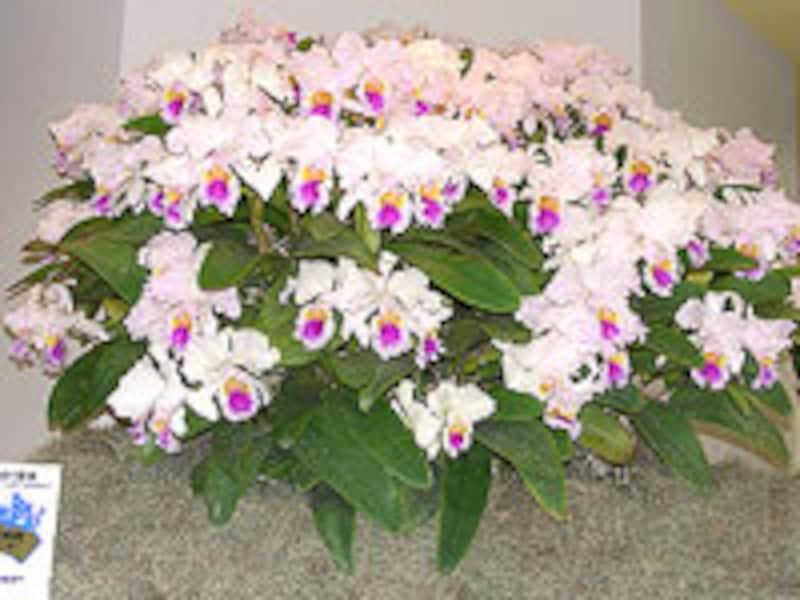 蘭の大賞花