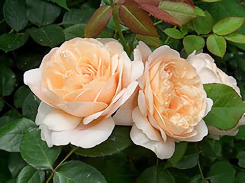 できるだけ農薬を使わずに、美しいバラを咲かせたい