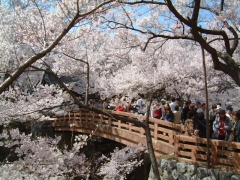 【長野】高遠城址公園のコヒガンザクラ