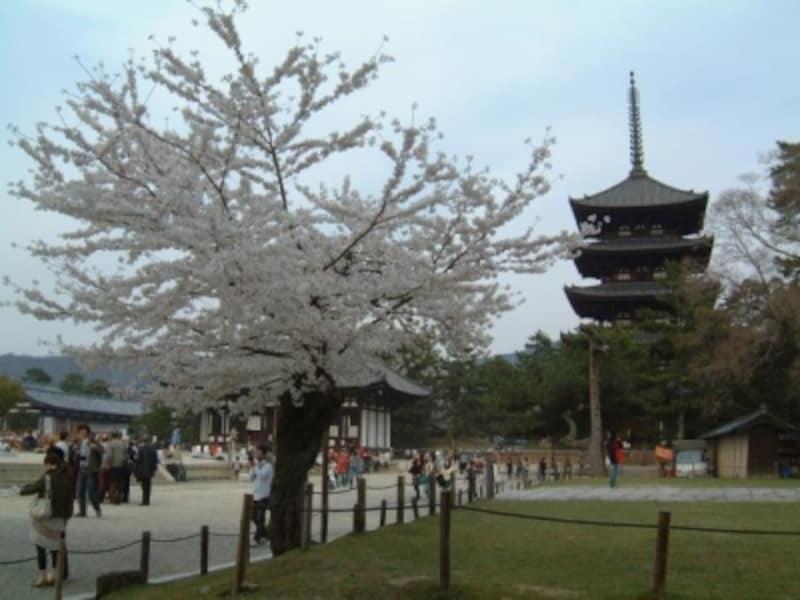 【奈良】興福寺五重塔と桜