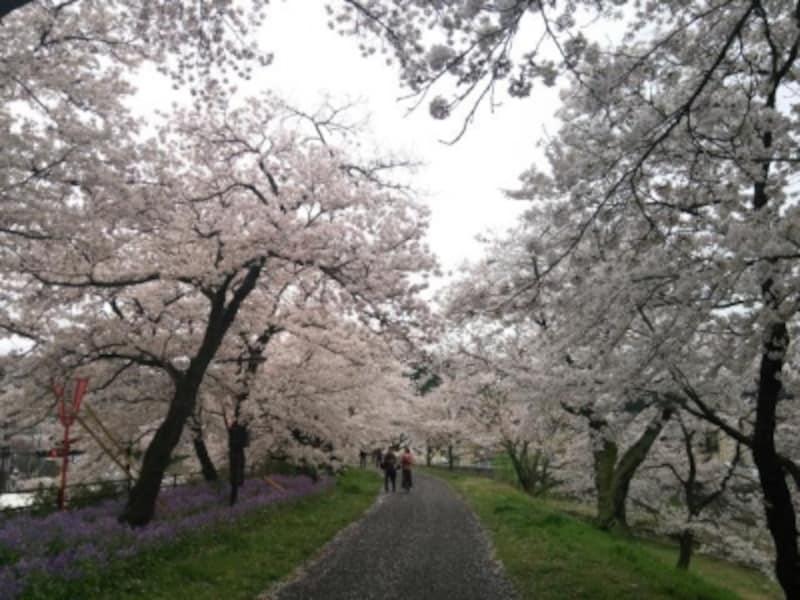 【島根】斐伊川堤防桜並木
