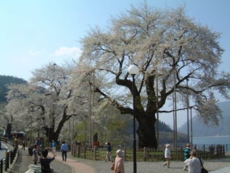 【岐阜】荘川桜