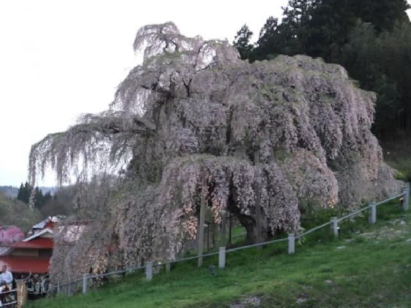 【福島】三春の滝桜