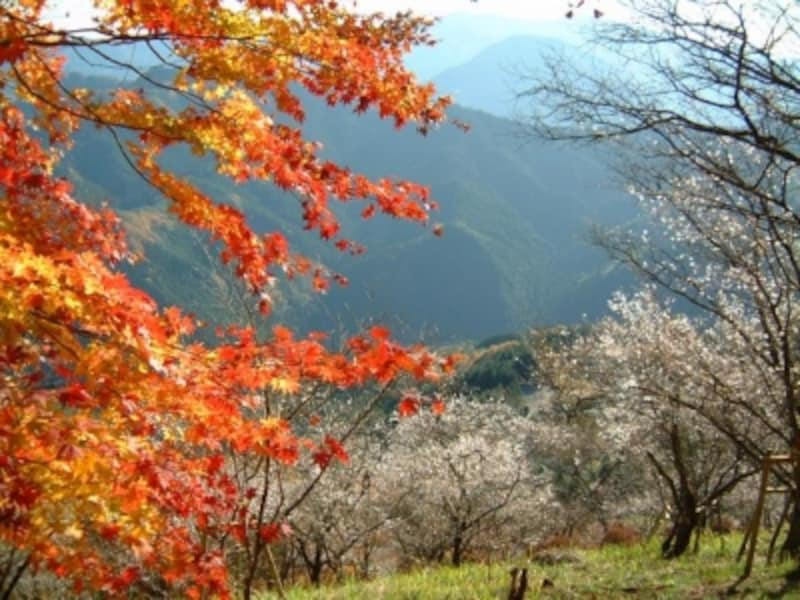 【群馬】鬼石・桜山公園の冬桜と紅葉