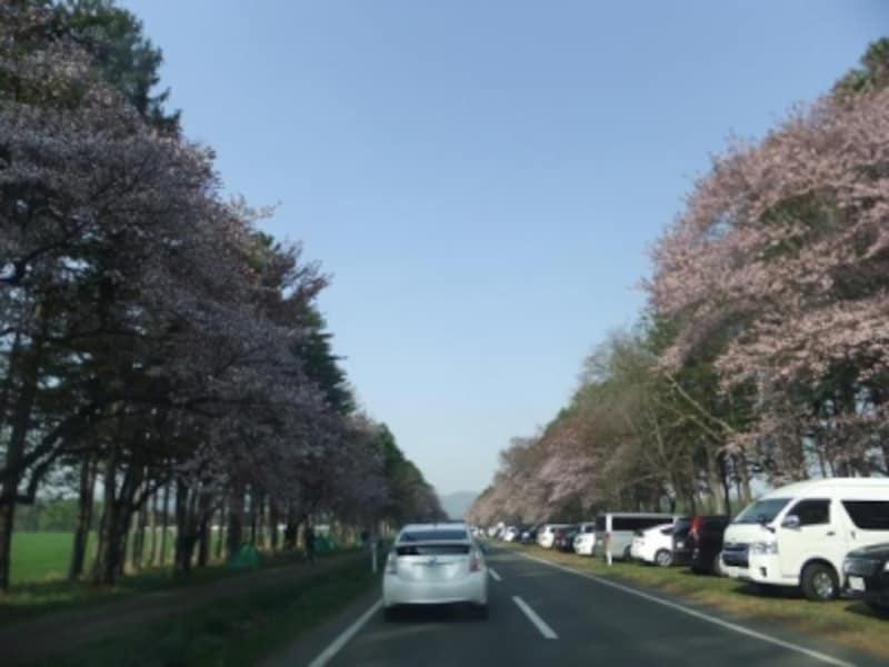 【北海道】静内・二十間道路の桜並木
