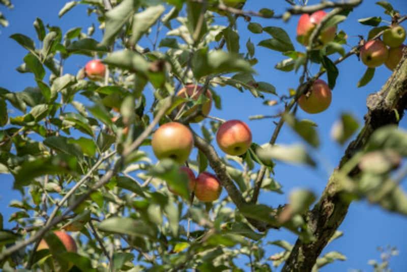 リンゴなど果樹も魅力的だが、小さな庭では枝張りがスリムな品種を