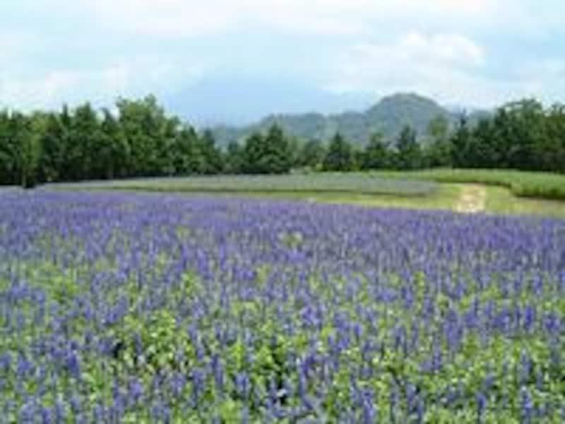 《米子》とっとり花回廊・ブルーサルビアと大山