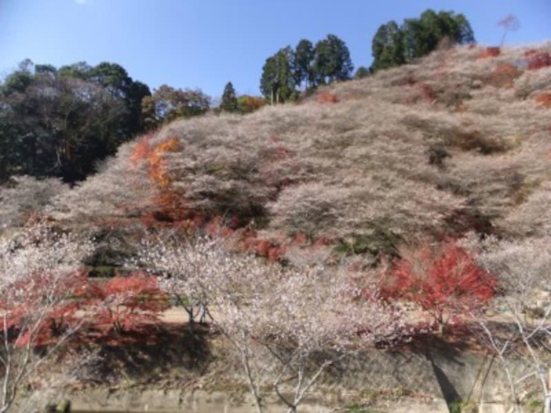 愛知/小原の四季桜と紅葉
