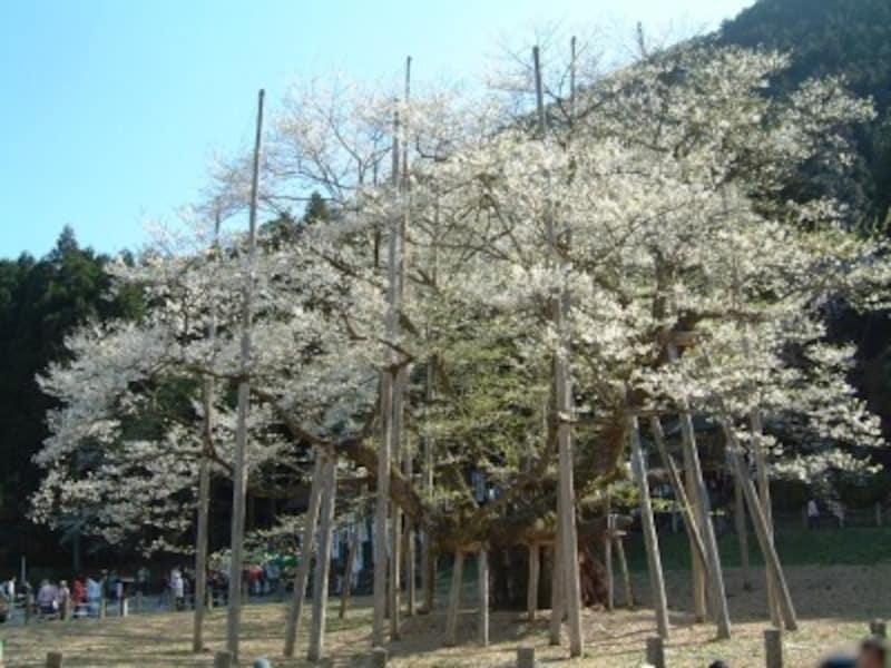 岐阜/根尾の淡墨桜