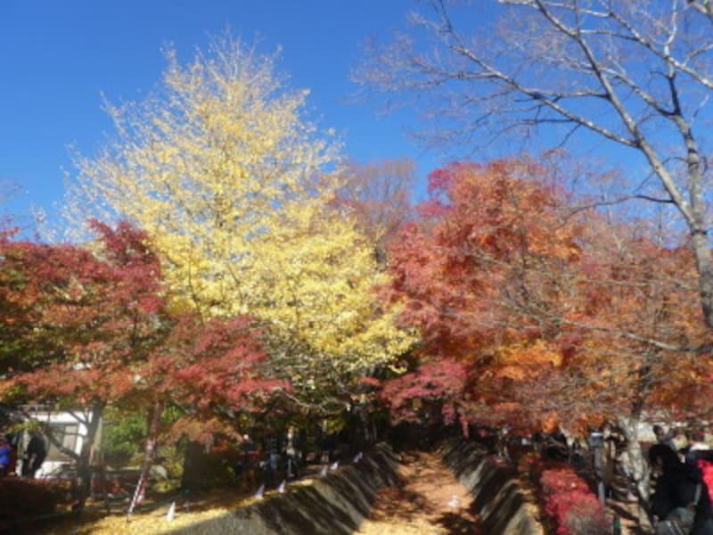 河口湖もみじ回廊の紅葉・黄葉