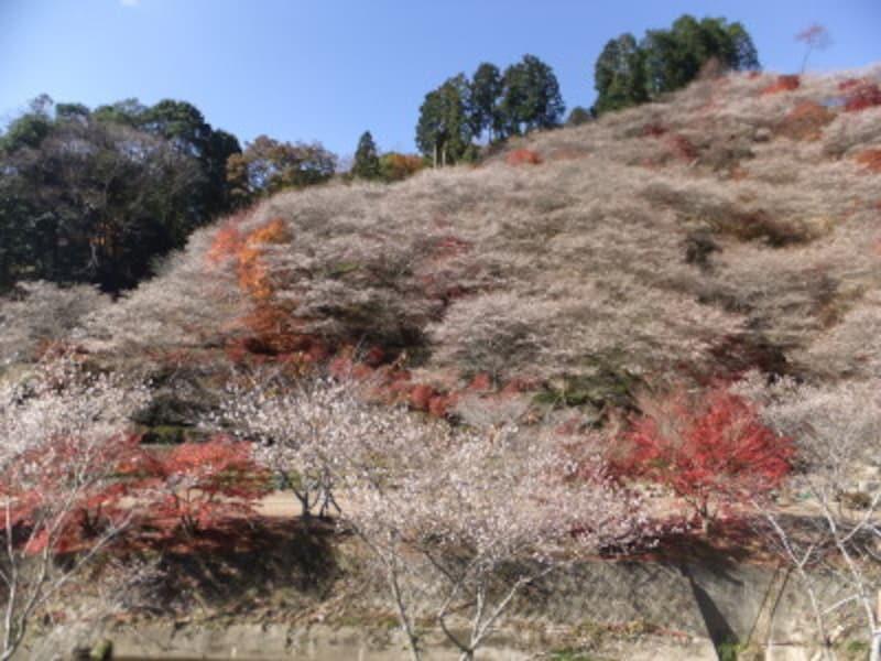 小原の四季桜と紅葉