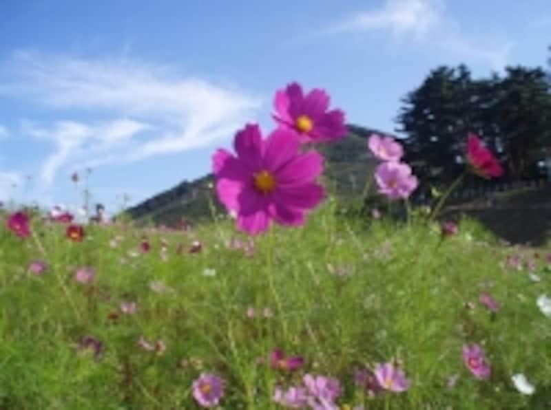 9月はコスモスの花が咲き乱れます。四季折々の自然の中でさまざまな体験を楽しめるのが魅力