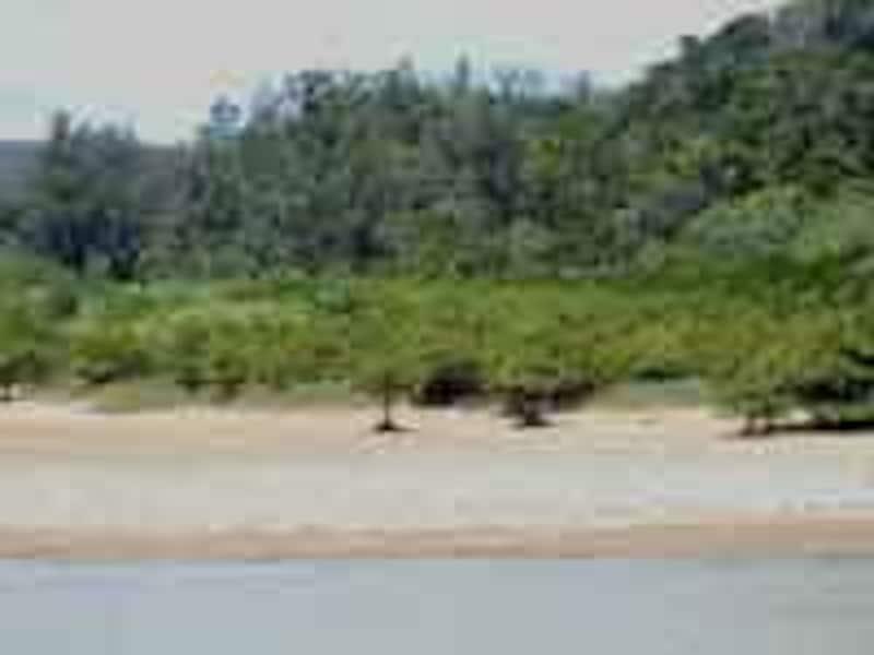 ヒルギのマングローブ林