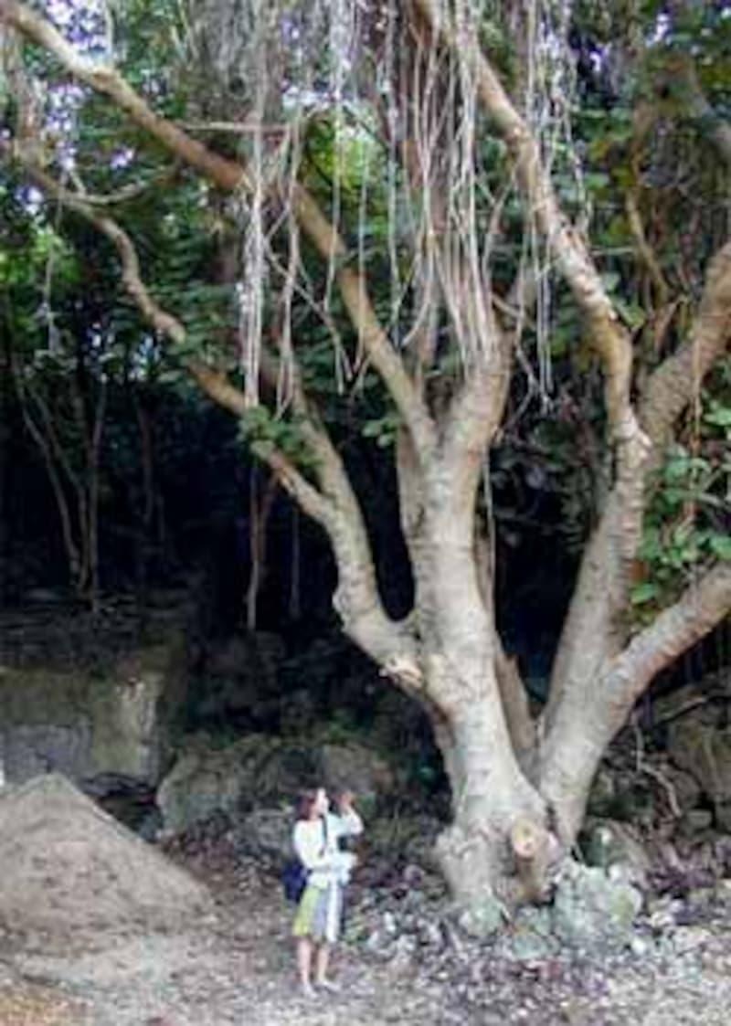 樹齢が想像できない浜比嘉の巨木