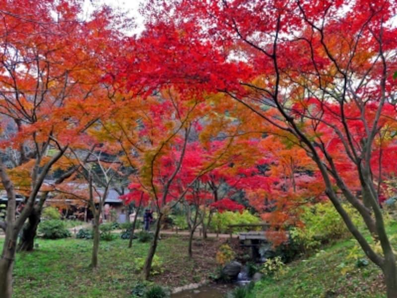 三溪園では、さまざまな木が紅葉、黄葉してまるで日本画のような風景に出会えます(2015年12月10日撮影)