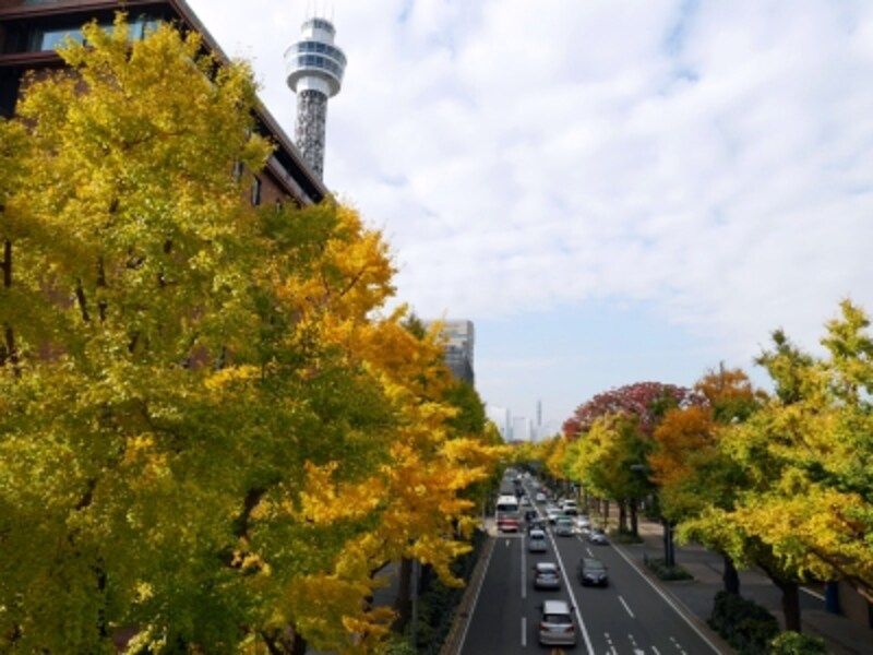 11月中旬~下旬には、緑でいっぱいだった山下公園通りのイチョウが徐々に黄色く染まっていくようすが楽しめます(2016年11月18日撮影)