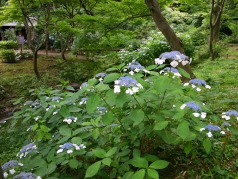 三溪園内にはガクアジサイが多く見られる(画像提供:三溪園)