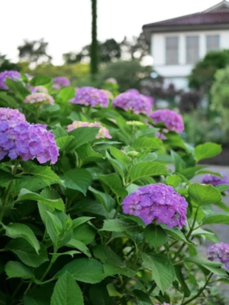 山手西洋館の庭園ではさまざまなアジサイが楽しめる。画像はイギリス館前(2016年6月5日撮影)