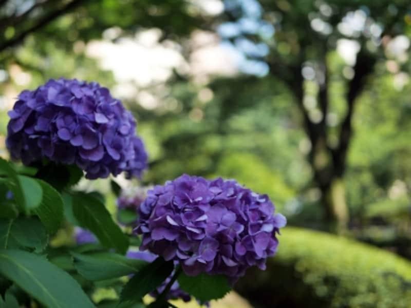 横浜公園にある日本庭園「彼我(ひが)庭園」も多くのアジサイが咲き誇る(2016年5月15日撮影)