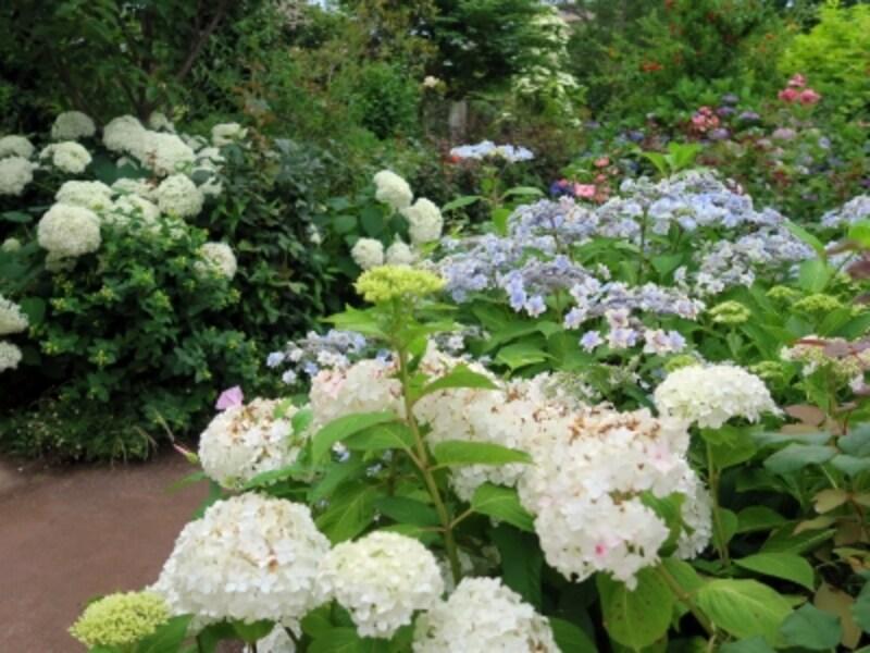 アジサイを中心に、サルビアやユリなど様々な宿根草も咲き、ガーデンは初夏の彩り(2016年6月15日撮影)