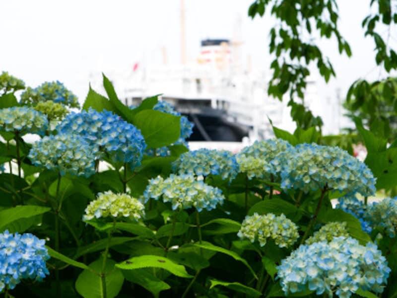 山下公園周辺にもアジサイが多く植えてあります(2021年5月14日撮影)