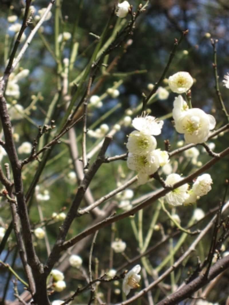 花弁を支える萼(がく)の部分が黄緑色の「緑萼梅(りょくがくばい)」