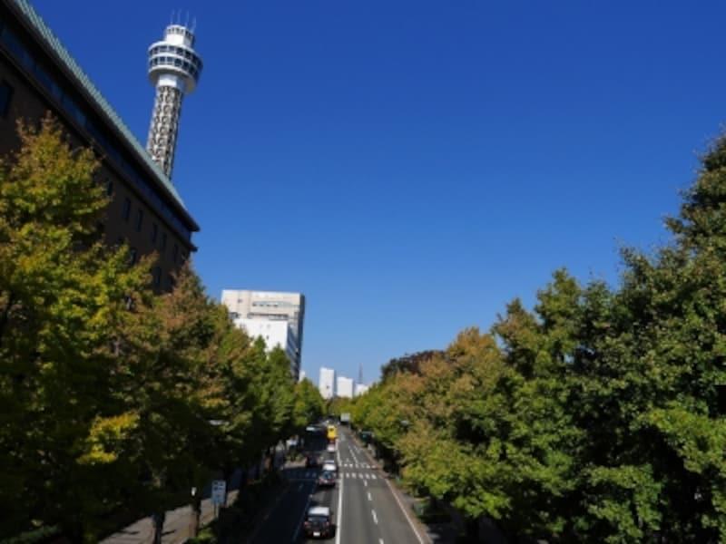 山下公園通りのイチョウ並木は10月下旬から徐々に色づき始めます(2017年10月27日撮影)