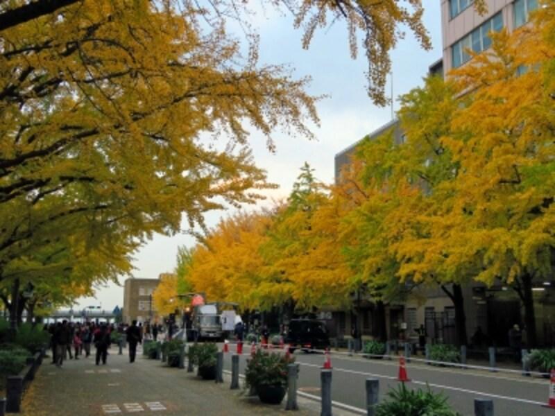 日本大通りは黄色く色づいたイチョウが見事(2014年11月24日撮影)
